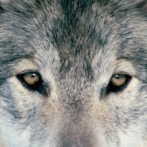 What to do when being tracked by Romanian wolves